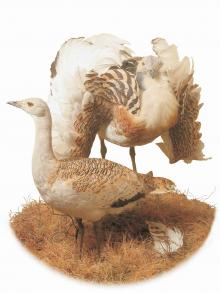 Image of two stuffed Great Bustards
